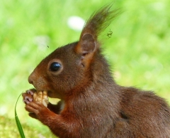 Bussi: Eichhörnchen mit einer Walnuss