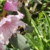 Biene bei der Arbeit2