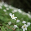 Frühlingswiese Buschwindröschen 1