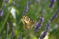 Violette: Schmetterling