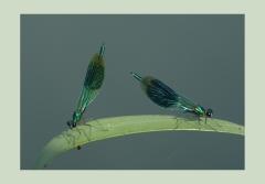 Christine: Zwei Libellen