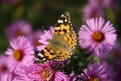 Felfrie: Schmetterling auf Astern