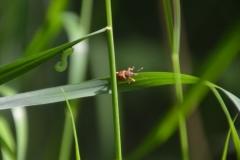Violette: Käfer und grüne Raupe