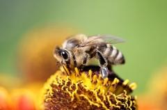 Sylke:  Biene