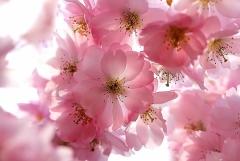 Sylke: Geöffnete Blüten