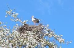 Jomo: Storch