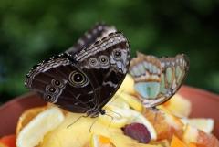 Felfrie: Schmetterlinge auf Früchten