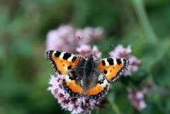 Felfrie: Schmetterling