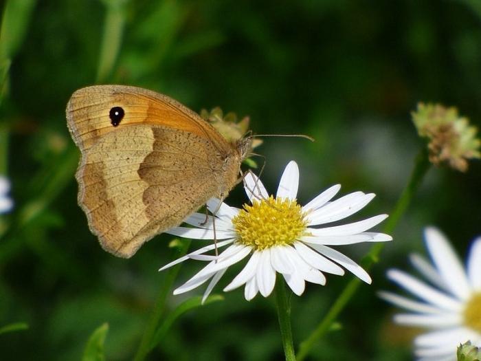 Bussi: Schmetterling