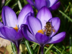 Bussi: Krokus mit Biene