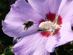 Bussi: Hummel mit Blütenstaub