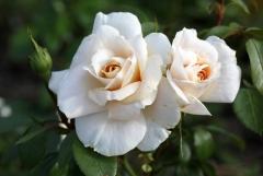 Felfrie: Zwei Rosen