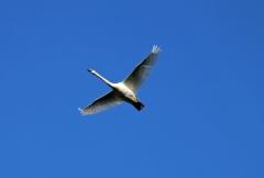 Sylke: Fliegender Schwan