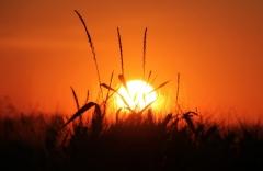 Sylke: Kornfeld bei Sonnenuntergang