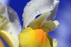 Sylke: Blütenblätter mit Regentropfen