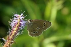 Felfrie: Schmetterling an einer Blüte