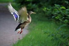Sylke: Fliegende Ente