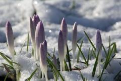 Sylke: Krokusse im Schnee