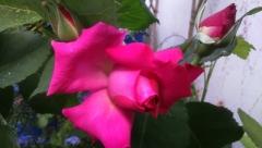 Rehs: Rose und Knospe