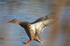 Sylke: Ente im Landeanflug