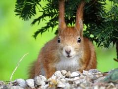 Quassel:  Eichhörnchen
