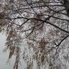 Birke im November