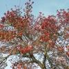 Hagebuttenbaum