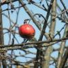 Zweig mit Apfel