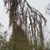Zweig mit Samen