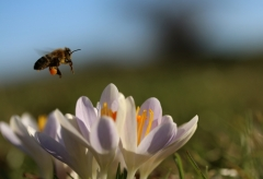 Sylke: Erste Biene und Krokusse Anfang März