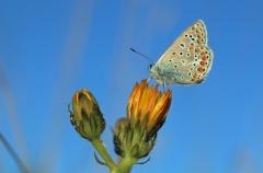 Sylke: Schmetterling