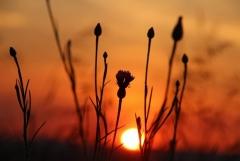 Sylke: Kornblume bei Sonnenaufgang