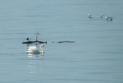 Graziella: Wasservögel im Bodensee