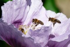 Bussi: Zwei Bienen im Anflug