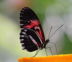 Quassel: Exotischer Schmetterling