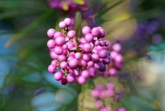 Sylke: Beeren am Liebesperlenstrauch
