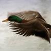 Sylke: Flug einer Ente