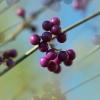 Sylke: Beeren an einem Strauch