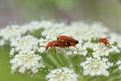 Felfrie: Käferpaarung