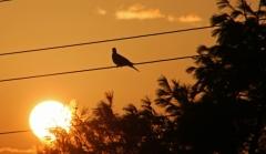 Sylke: Taube bei Sonnenaufgang
