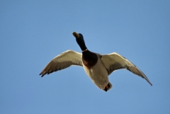 Felfrie: Fliegende Ente